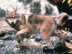 Gray wolf (file photo)