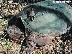 Adult and baby snapping turtles (Photo: DNR)
