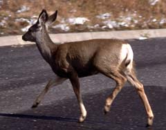Deer on road (File photo)