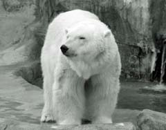 Polar bear at Henry Vilas Zoo