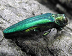 The emerald ash borer (Photo: DATCP)