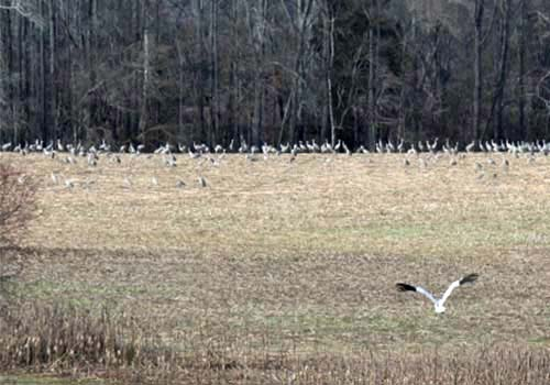 A young whooping crane rejoins other birds. (PHOTO: ICF)
