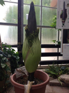 The corpse flower prepares to bloom (Photo: D.C. Smith Greenhouse)