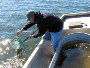 Walleye fingerlings being released in Lake Shawano (Photo: WDNR)