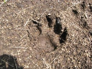 A suspected cougar paw print (Photo: WCLO)