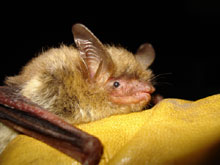 Northern long-eared bat (PHOTO: DNR's Dave Redell)