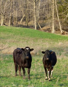 Wisconsin cows (File photo: Jackie Johnson)