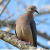 Mourning dove (Photo: DNR)