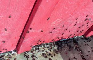 Box elder bugs (PHOTO: Jackie Johnson)