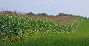 Corn_cropsP1400196cropped