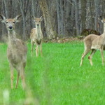 DNR deer hunting regulations available in Hmong and Spanish