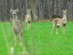 Whitetail deer (File photo: Jackie Johnson)