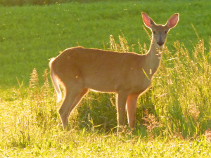 Whitetail deer in central Wisconsin (PHOTO: Jackie Johnson)