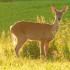 CWD prompts destruction of Eau Claire County whitetail herd