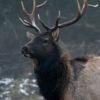 Elk (Photo: Wisconsin DNR)