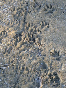 Paw prints at dog park