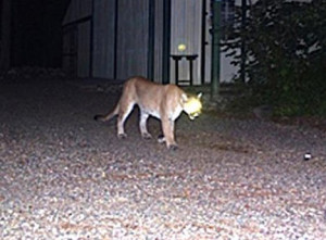 Trail camera image of a cougar in Langlade County (File photo: Wisconsin DNR)
