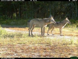 Wolves caught be a trail camera (Photo: Snapshot Wisconsin)