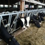 Many dairy farmers affected by Canadian trade dispute find new buyers