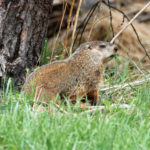 Bill to allow woodchuck in Wisconsin hunting gets hearing