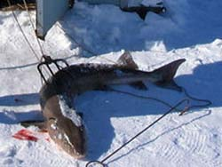 Speared sturgeon (Photo: Bill Scott)