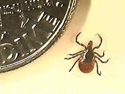 A deer tick (Photo: DNR)