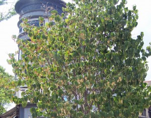 A tree in downtown Madison shows signs of stress after weeks without rain.