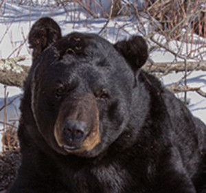 Black bear (Photo: WI DNR)