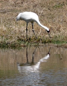 Whooping crane (FILE PHOTO: Jackie Johnson)