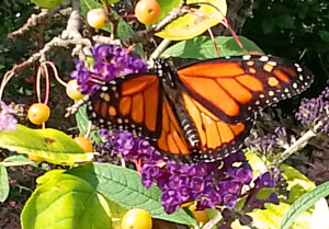 Monarch butterfly (PHOTO: Jackie Johnson)