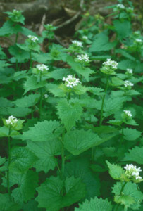 Garlic mustard (Photo: DNR)