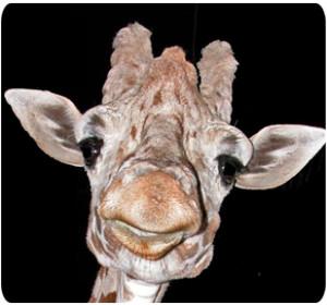 Reticulated giraffe (Photo: Henry Vilas Zoo)