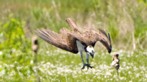 An adult osprey dives. (Photo: US Fish and Wildlife Service)