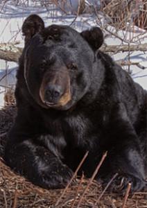 Black bear (Photo: DNR)