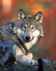 Wisconsin gray wolf. (PHOTO: Wisconsin DNR/Gary Kramer)